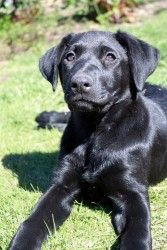 HONEY is an adoptable Black Labrador Retriever Dog in Hamilton, NJ. Meet Honey! Honey is a gorgeous, shiny and healthy 12-week old black Labrador retriever mix looking for her forever home. Her mother...