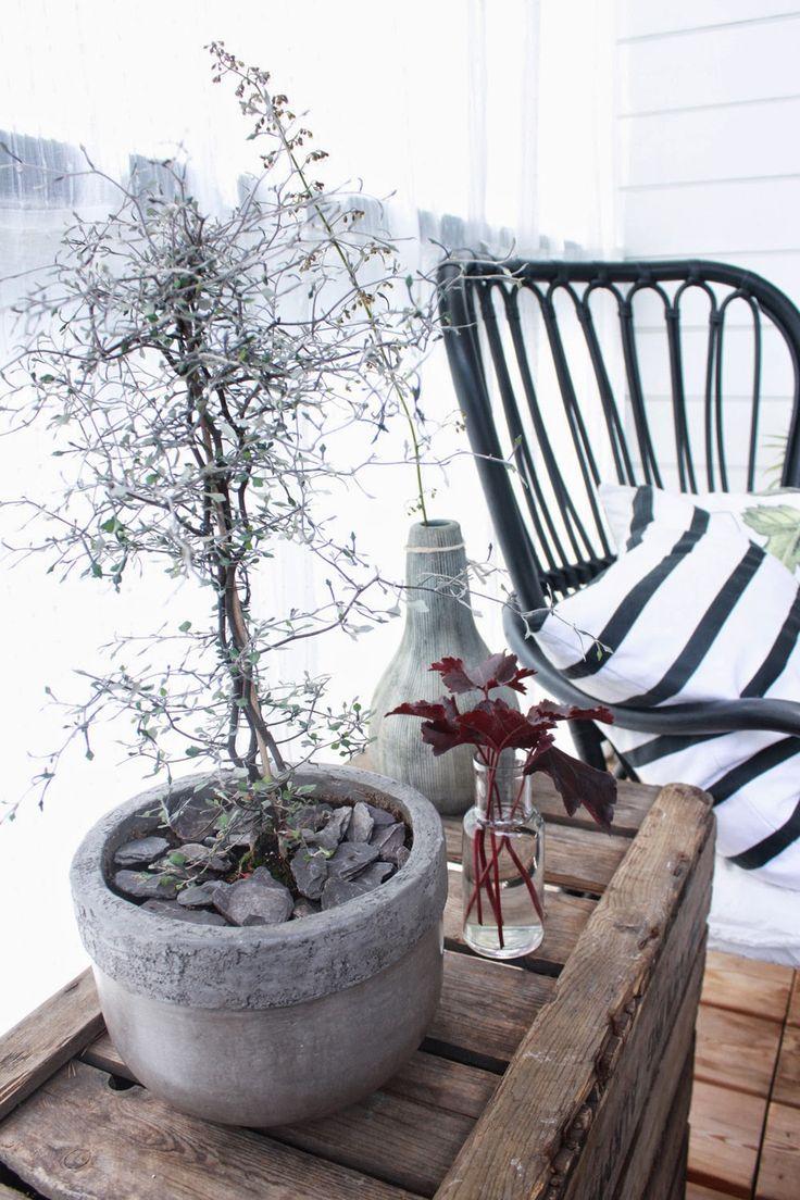 KUKKALA #corokia #korokia #kummituspuu