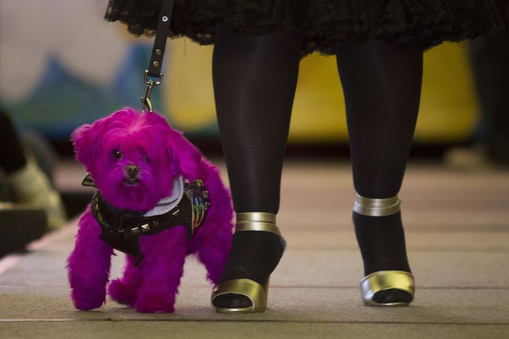A dog walks the runway during a New York Pet Fashion Show event during Fashion Week in the Manhattan borough of New York on February 12, 2015.
