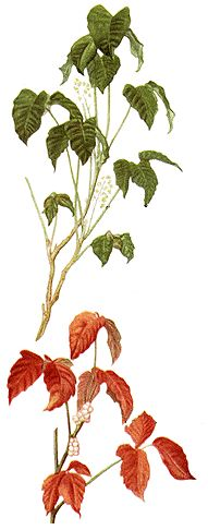 poison ivy leaves - Poison ivy, oak and sumac Information center
