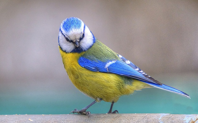 Blaumeise, ist immer wieder einen Schuss Wert! by baerchen57, via Flickr