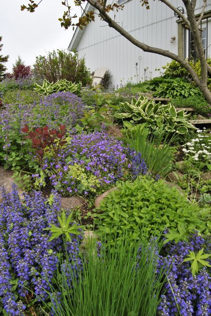 rock garden on slope lots of ajuga hostas geranium