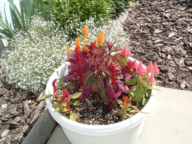Several varieties of celosia against a backgroound of baby's breath