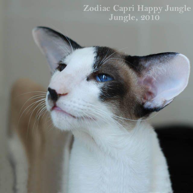 JUNGLE - ориентальные кошки, сиамские кошки, питомник. Ориентальные котята и сиамские котята. Ориенталы, сиамы, сейшелы.