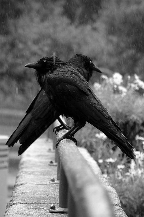 Corvid | Crow | Raven | La Corneille | Il Corvo | 烏 | El Cuervo | ворона | 乌鸦 | They fly between dreams and the waking world. The messenger, protector of the passage and a sturdy guide. Fear not the crow, prepare for the woe and offer gratitude and thanks for their to and fro.