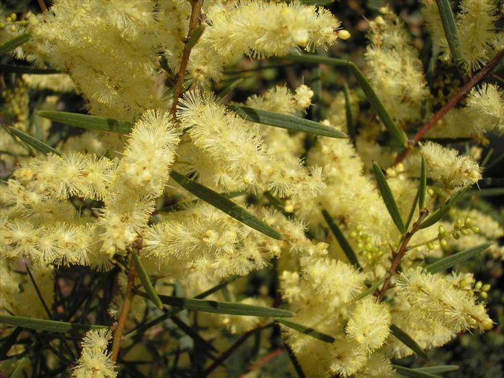 Acacia Abundance Wattle --- For more Australian native plants visit austraflora.com