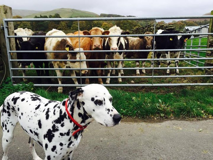 THE DOGGY DILEMMAS OF A DOTTY DALMATIAN  MUST show that I'm a good dog by completely ignoring all livestock. I'll just show my natural superiority by photo bombing their moment of glory...