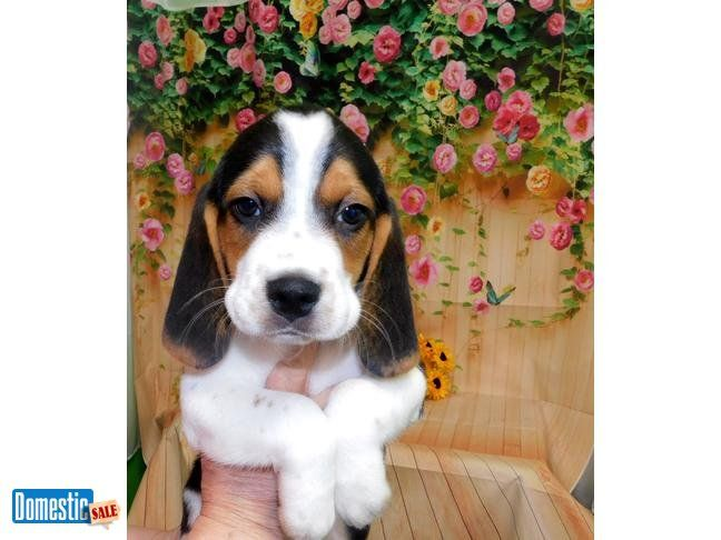 Chicago Beagle Babies Prespoiled Great 4 Kids Financing Avail
