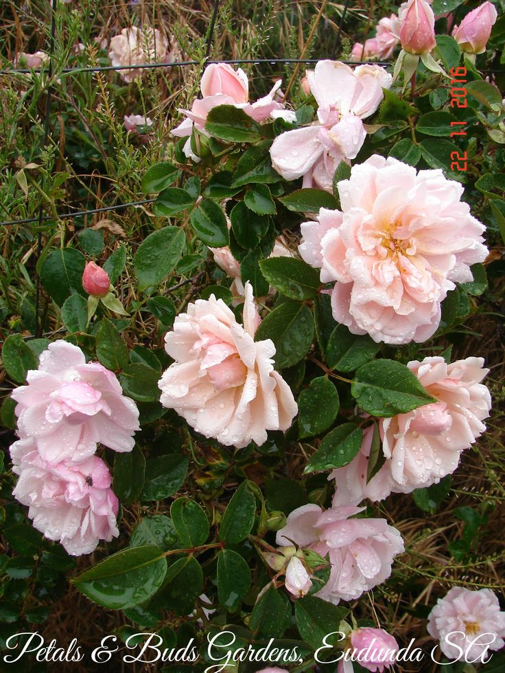 The Beautiful and Classic old climber 'Albertine' flowering in my garden.