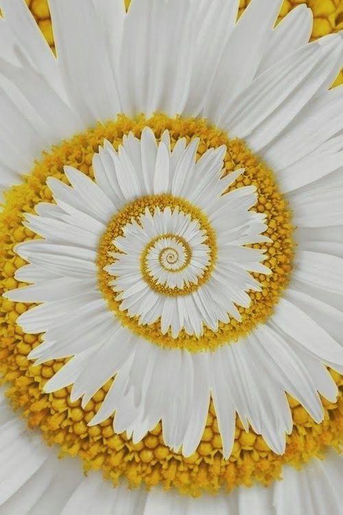 A Miracle Daisy Beautiful