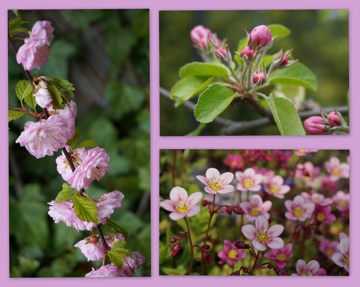 różowa wiosna w moim ogrodzie