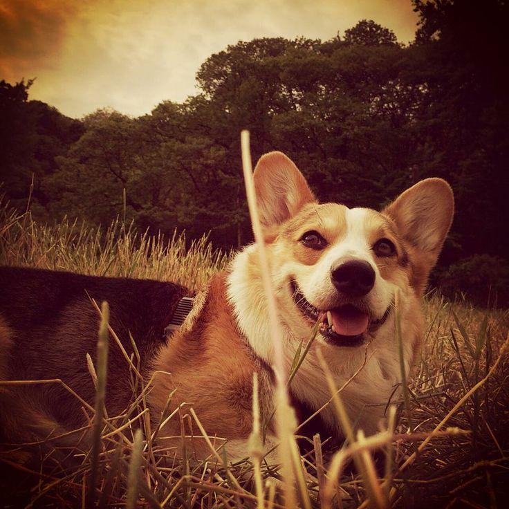 #puppy #instacorgi #corgi #corgidog #corgigrrr #corgilove #corgicrazy #corgifamily #corgination #corgistagram #corgioftheday #corgicommunity #corgisofinstagram #dailydog #dogstagram #dogsofinstagram #petstagram #petsofinstagram #pembrokewelshcorgi #welshcorgi #statigram #buzzfeed #tastyshoutouts #puppyoftheday #dogoftheday #instagramcorgis#naver #SIMZ #weimaraner #google #nate #petphotography #peto #dog #pet #weim #pinterest #애완동물 #반려동물 #반려견 #애견 #와이마라너 #바이마라너 #독일사냥개 #웰시코기 #코기