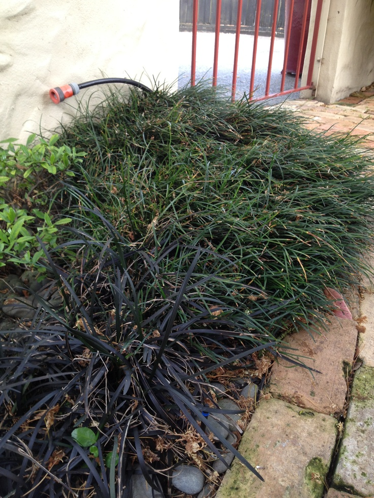 Mondo grass. Both varieties pictured here - Ophiopogon planiscapus 'Black Dragon', the dark red variety, and Ophiopogon japonicus, the green variety. You could use either one, but I think the green variety would look better with the other colours used in the garden.