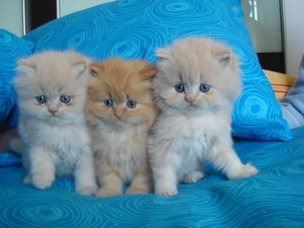 so cute long fluffy fur ,such pretty colors,3 siblings,I want them all..