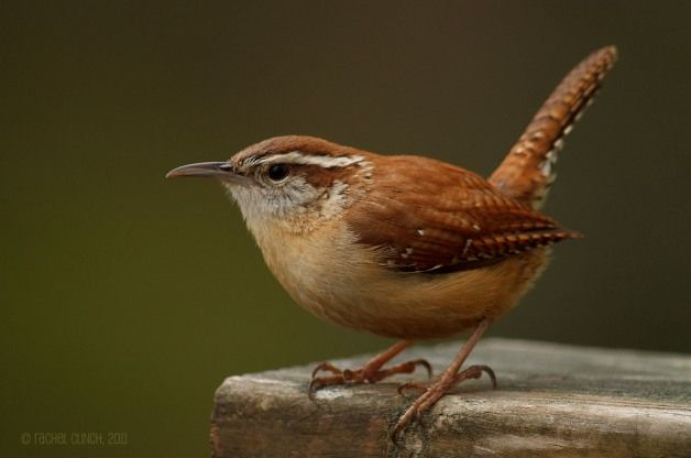 """The loud, ringing call of the Carolina Wren is a common sound in southeastern woods, where it is heard even in winter. The bird has been called """"mocking wren"""" because it sometimes sounds like a catbird, kingfisher or certain other birds. (Photo by Rachel Clinch) Get other facts about this bird: birdsandblooms.com"""