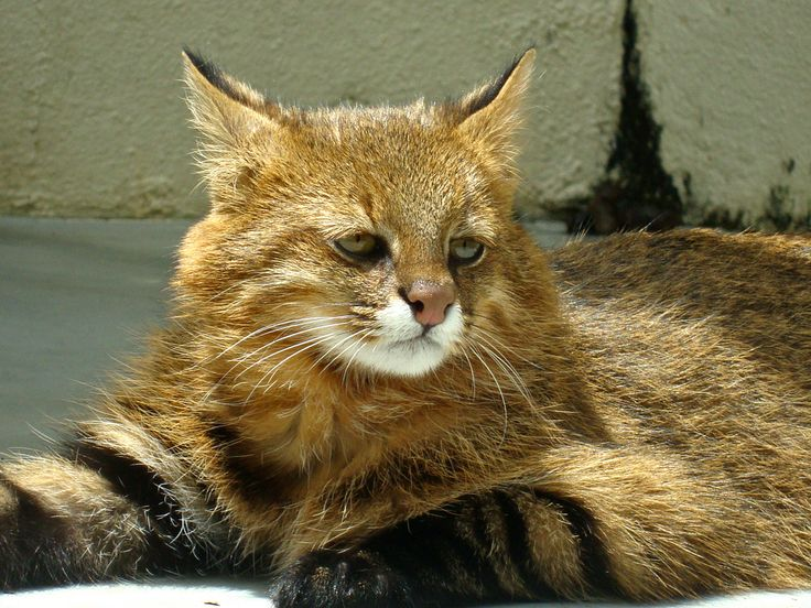 South American Wild Cats Eat Guinea Pigs