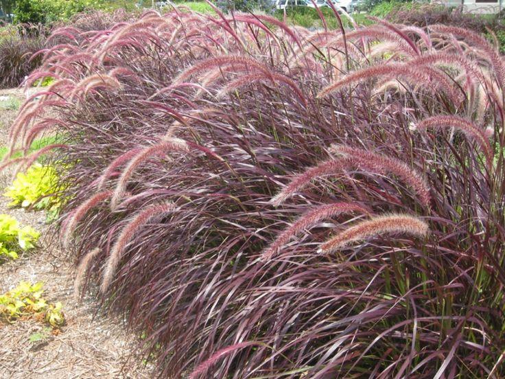 Nome Científico: Pennisetum setaceum Nomes Populares: Capim-do-texas, Capim-chorão