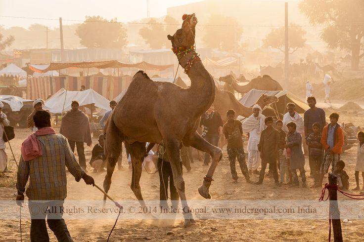 Pushkar Mela - Trained dancing camel used in wedding processions