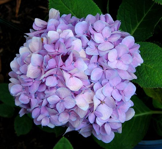 hydrangea wedding flower in light purple color via flowerpicturegallery.com
