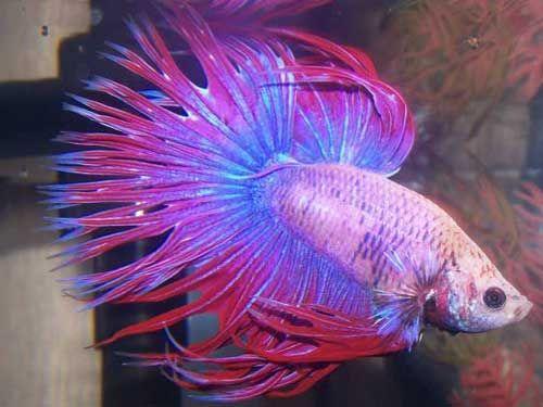 Most Beautiful Betta Fish in the World & Amazing Fact About Betta Fish
