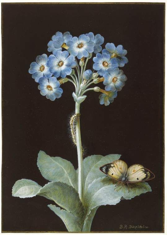 Primula auricula with caterpillar and pale clouded yellow butterfly by Barbara Regina Dietzsch, 18th century.