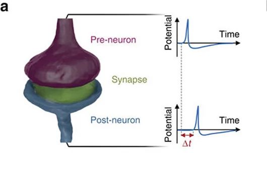 Researchers Build Artificial Synapse Capable of Autonomous Learning  Research...