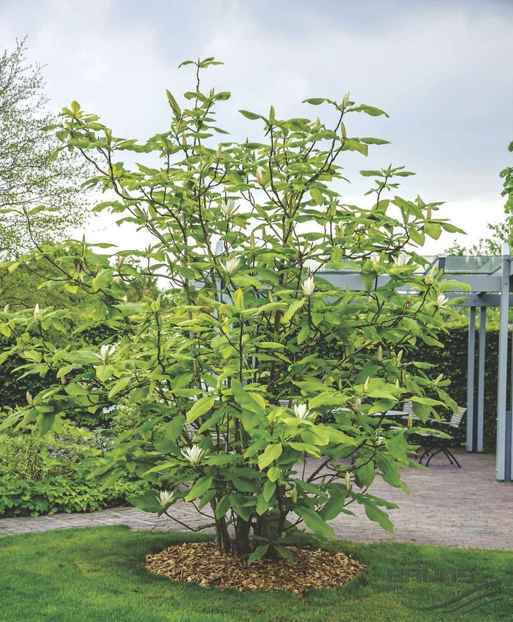 25 best ideas about magnolie pflanzen on pinterest. Black Bedroom Furniture Sets. Home Design Ideas