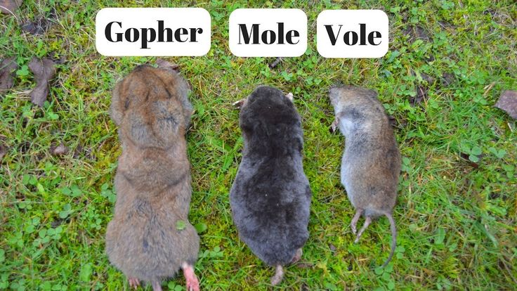 How To Identify If You Have Gophers, Moles, Or Voles ...