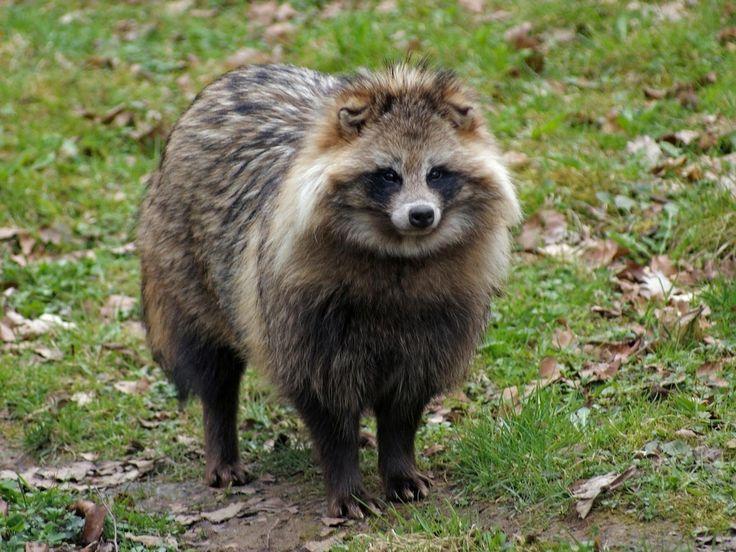 Japanese raccoon dog, tanuki
