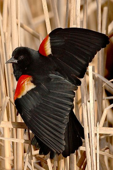 Red-winged Blackbird; Ottawa, Ontario by Ted Busby. Love these outstanding and very vocal birds who visit out feeders!
