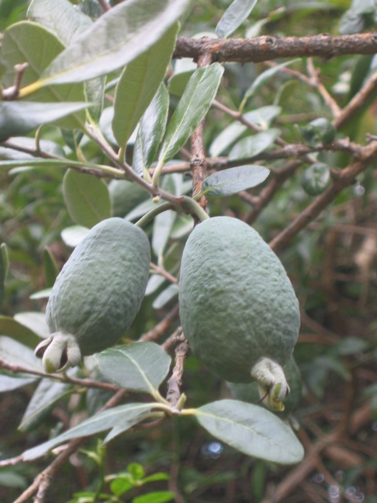 Feijoa or Pineapple Guava (Acca sellowiana)