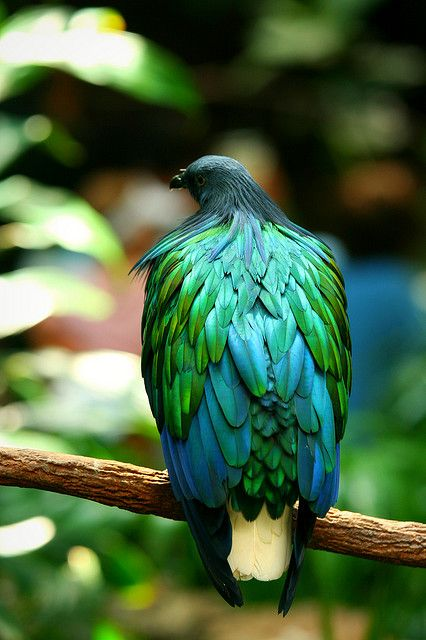 NICOBAR PIGEON (Caloenas nicobarica)  -  Jill Siegel        the Nicobar Pigeon's breeding range encompasses many of the island nations in Asia      This species nests in dense forest on offshore islets, often in large colonies.      The species is also trapped for the local pet market, but as it is on CITES Appendix I, such trade is generally illegal.Internationally, captive breeding is able to supply the birds demanded by zoos, where this attractive and unusual bird is often seen.