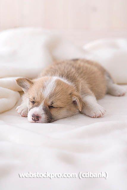 Pembroke welsh corgi sleeping on a blanket, awww!!