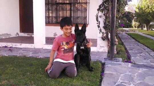 dutch shepherd dog, 5 meses (pastor holandes)