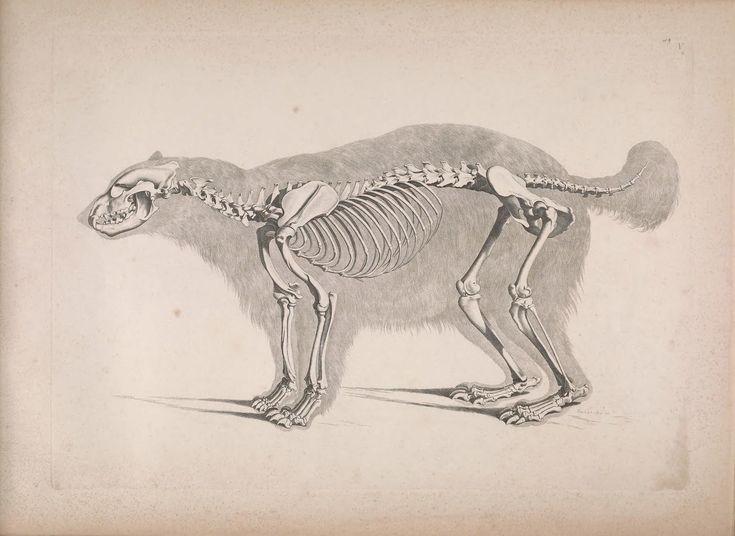 Die vergleichende Osteologie (1821) Gulo gulo - Wolverine - Wikipedia