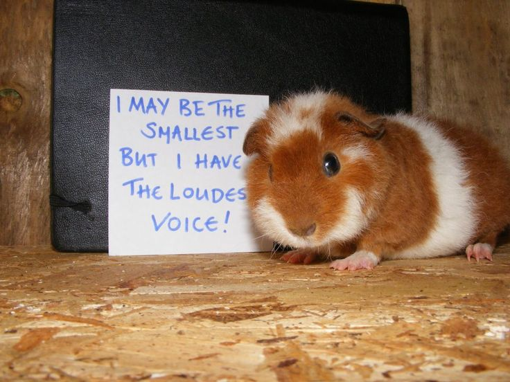 Little guinea pig with a BIG personality!  Guinea Pigs LOVE their hay delivered FRESH! Click  http://smallpetselect.com/guinea-pig-hay