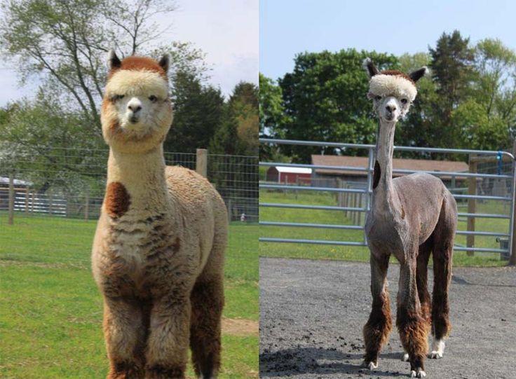 Shaved+Llama | ... image.noelshack.c o m/fichiers/2013/12/13637288 56-shaved-llama.jpg