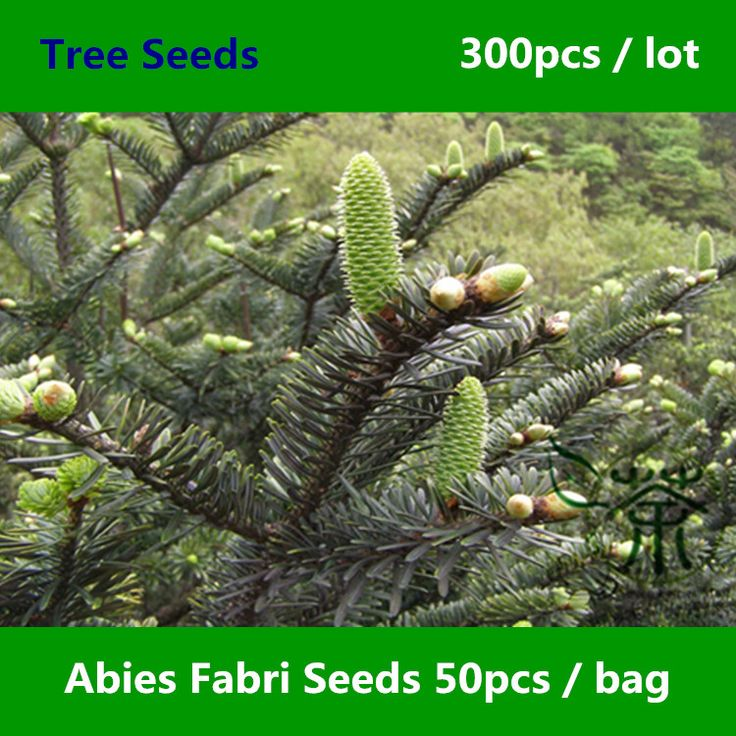 Ornamental Plant Abies Fabri Seeds 300pcs, Chinese Endemic Faber's Fir Evergreen Tree Seeds, Family Pinaceae Leng Shan Shu Seeds