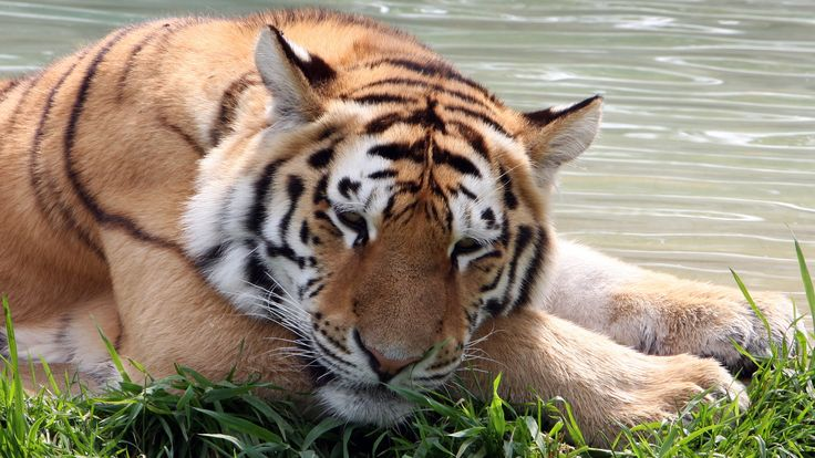 beautiful image of tiger