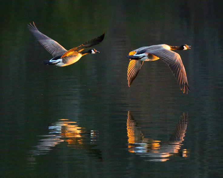 "1st Place, Div 2 Category: Animal ""Geese at Sunset"" by Marjorie Lehman, Fort Knox"