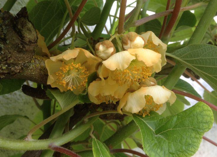 Fleurs de Kiwi