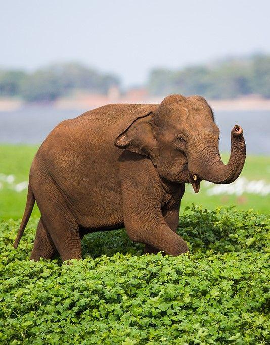 A wild Asian Elephant photographed in Minneriya National Park Sri Lanka. By Burrard Lucas