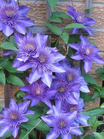 Clematis 'Multi Blue' / Bosrank bloeit met goedgevulde dubbele violetblauwe bloemen in mei - juni en nogmaals in augustus - september. Voor plek in zon of halfschaduw met de voet van de plant altijd in de schaduw. Hoogte ca. 2 - 3,5 mtr. Trekt vlinders en bijen aan. Is bladverliezend in de winter en zeer winterhard. Begin maart dode hout verwijderen en tijdens de bloei de uitgebloeide bloemen. Na de eerste bloei de stengels lichtjes snoeien voor een mooie herbloei. Snoeien groep 2.