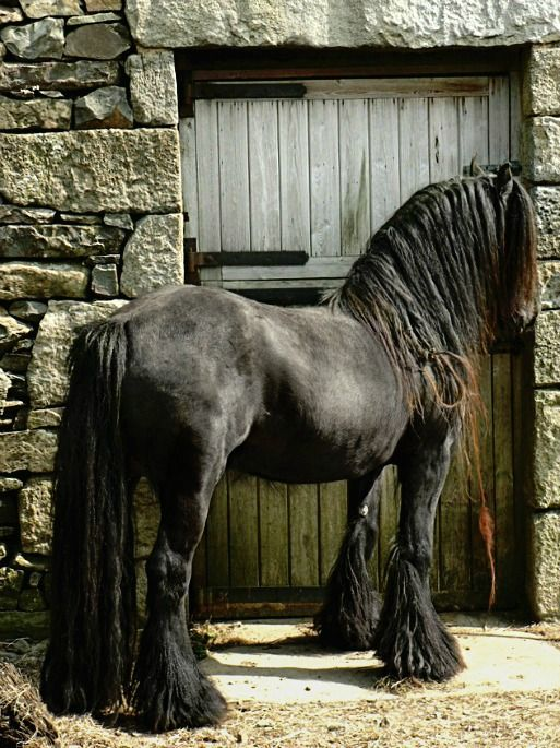 Fell Pony stallion, Murthwaite Look At Me. photo: Fleur Hallam.