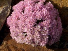 Armeria juniperifolia - trávnička trsnatá Zahradnictví Krulichovi - zahradnictví, květinářství, trvalky, skalničky, bylinky a koření