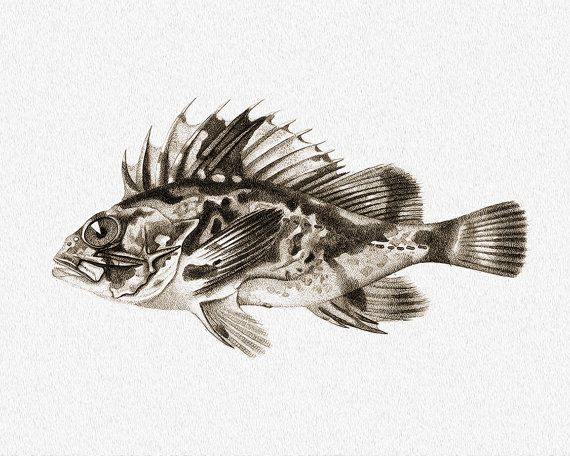 South Australian Cobbler. Amazing Vintage Fish. Printable Sea Wall Art, Marine Print, Nautical Decor, Beach House Decor. Digital print. Instant download. Art print in 8x10' size.