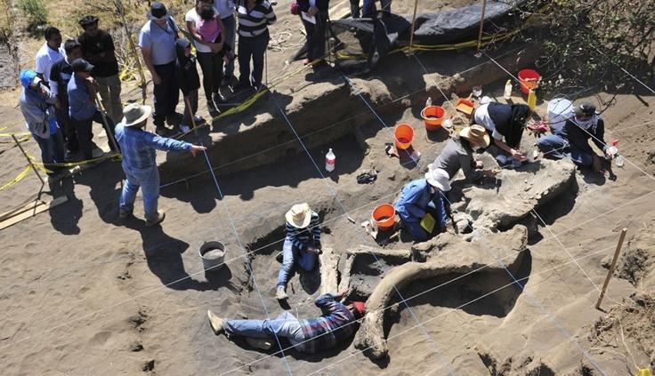 FOTOS: en México rescatan restos de mamut con un novedoso método arqueológico