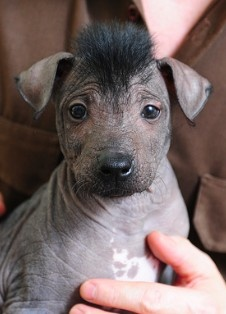 xoloitzcuintli aka mexican hairless dog - Like his Mohawk.