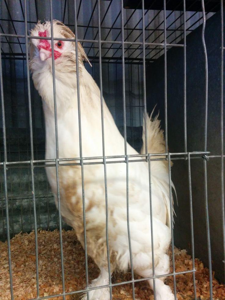 Market.  Funny chicken