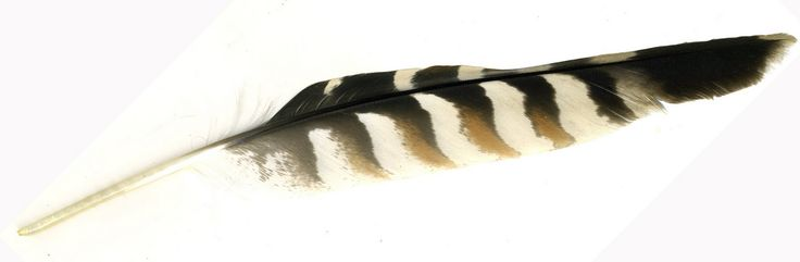red tail hawk feathers..I will have a faux one to incorporate into my bouquet. It is illegal to have a real one.
